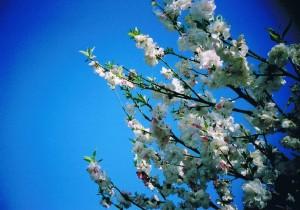 桃の花と青空