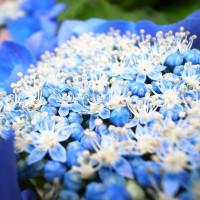 青色の紫陽花の花