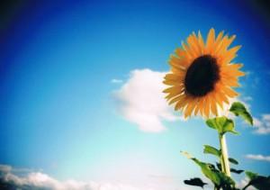 向日葵と青空の写真