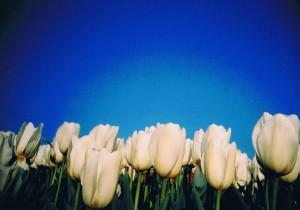 チューリップと青空