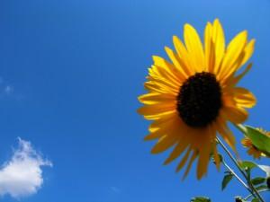 青い空と向日葵
