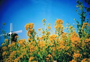 鶴見緑地 風車と菜の花