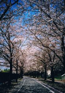 都島の桜並木道