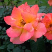 梅雨の薔薇