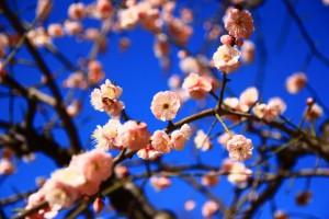 大阪城梅林の梅の花