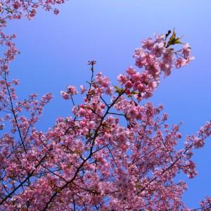 河津桜(鶴見緑地)