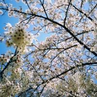 大阪城公園 桜