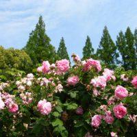 靱公園 薔薇