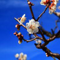 梅の花 大阪城