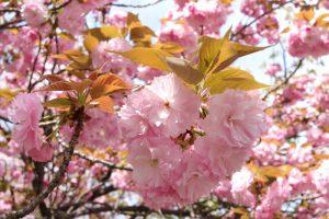 八重桜 桜宮神社