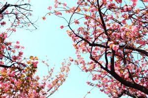 八重桜 桜ノ宮