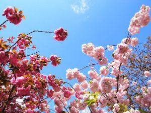 八重桜 造幣局の桜の通り抜け