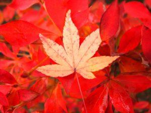 宇治の紅葉