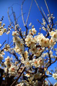春 大阪城公園