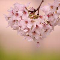 桜 写真撮影 柿本大治