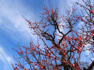 梅の花 大阪城梅林