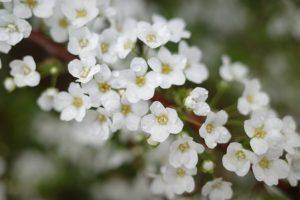 春 ユキヤナギ