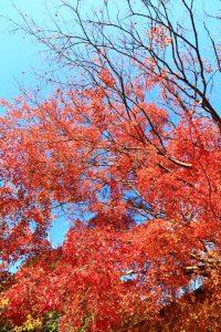 妙見山の紅葉